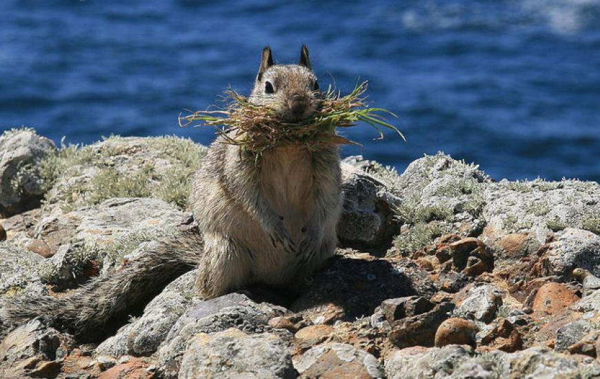 California ground squirrel. Credit: Brocken Inaglory, via Wikipedia Commons
