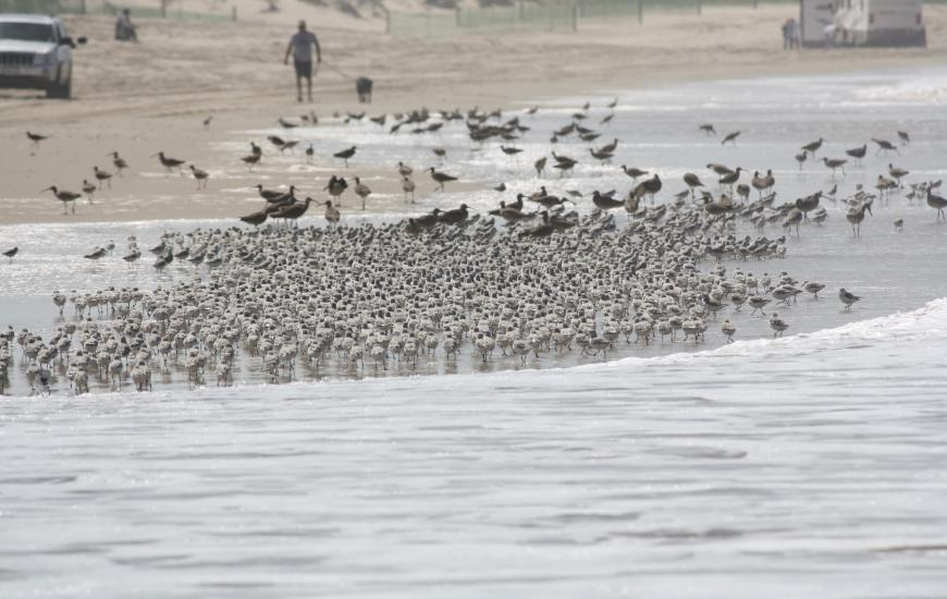 Dogs should be kept on leashes around shorebirds. Credit: Dave Hubbard