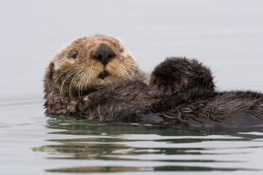 Sea otter, Enhydra lutris.  Credit: Michael L. Baird, via Wikipedia Commons