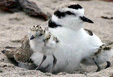 Adult snowy plover and chicks. Credit: Aquarium of the Pacific