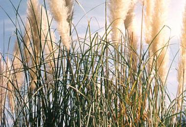Pampas grass, Cortaderia selloana. Credit: Patchallel, via Wikipedia Commons