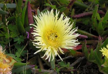 Ice plant, Carpobrotus edulis. Credit: Winfried Bruenken, via Wikipedia Commons
