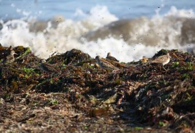 Least sandpipers and kelp flies on wrack. Credit: Dave Hubbard