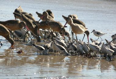 A mixed group of shorebirds feeding.