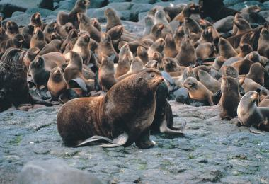 Northern fur seal, Callorhinus ursinus.  Credit: M. Boylan, via Wikipedia Commons