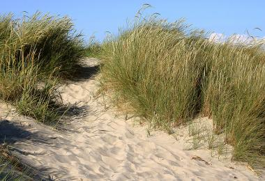 European beach grass,  Ammophylla arenaria. Credit: Malene Thyssen, via Wikipedia Commons