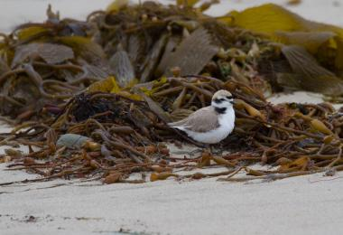 A snowy plover forages among the kelp wrack. Credit: Coal Oil Point Reserve
