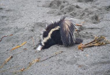 Skunk digging in the sand. Credit: Craig Tooley
