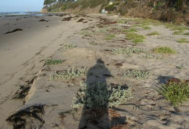 Plants in wetted sand after a spring tide (May 25, 2013). Credit: Dave Hubbard